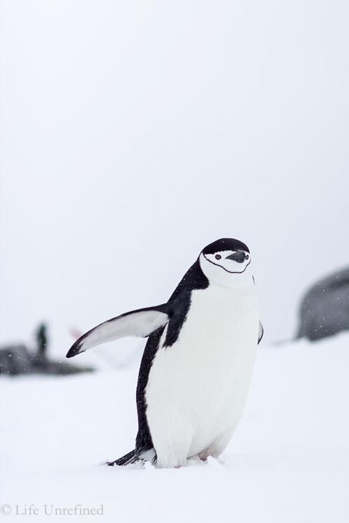 Antarctica-penguin2